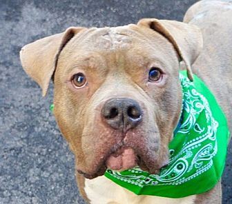 Pit Bull Terrier Mix Dog for adoption in Philadelphia, Pennsylvania - HARLEY