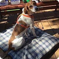 Beagle Mix Dog for adoption in Minneapolis, Minnesota - Loretta