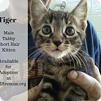 Adopt A Pet :: Tiger - Temecula, CA