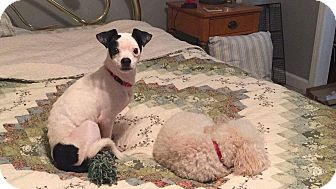 Terrier (Unknown Type, Small) Mix Dog for adoption in Lexington, North Carolina - Petunia