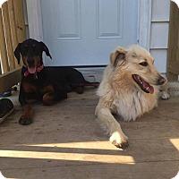 Doberman Pinscher Puppy for adoption in Elgin, Illinois - Francium