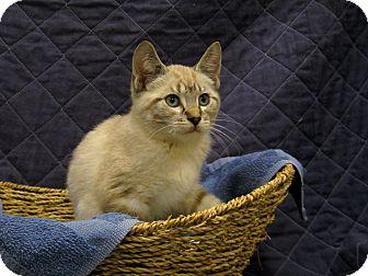 Siamese Kitten for adoption in Redwood Falls, Minnesota - Simon