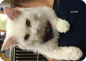 Domestic Longhair Cat for adoption in Hibbing, Minnesota - ALPINE