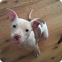 Pit Bull Terrier Mix Dog for adoption in Frankfort, Illinois - Piglet