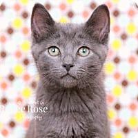 Adopt A Pet :: Matcha - Sterling Heights, MI