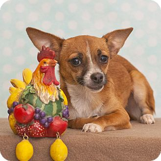 Dachshund/Chihuahua Mix Puppy for adoption in Las Vegas, Nevada - Phoebe