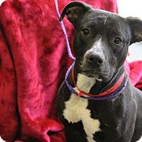 Adopt A Pet :: Amber - Greensboro, NC