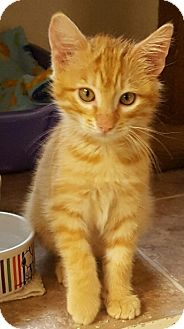 Domestic Shorthair Kitten for adoption in Tombstone, Arizona - Wesley