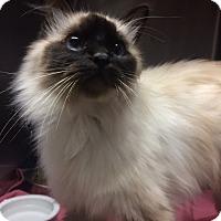 Adopt A Pet :: Sassi - St. Louis, MO