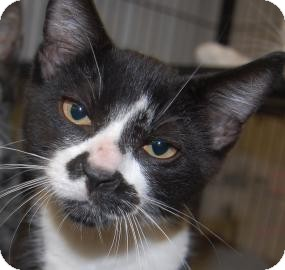 Domestic Shorthair Kitten for adoption in Brooklyn, New York - Kyle