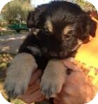 Shepherd (Unknown Type) Mix Puppy for adoption in Manchester, Connecticut - Kourtney ADOPTION PENDING