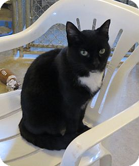 Domestic Shorthair Cat for adoption in Geneseo, Illinois - Oreo