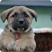 Adopt A Pet :: Alice - New Boston, NH