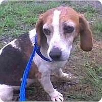 Adopt A Pet :: Gracie the Beagle - Chicago, IL