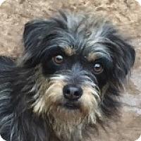 Adopt A Pet :: Annabelle Amore - Houston, TX
