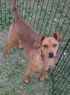 Miniature Pinscher Mix Dog for adoption in Beeville, Texas - Winnie