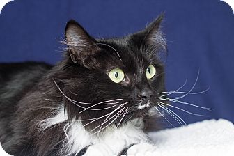 Domestic Longhair Cat for adoption in Los Angeles, California - Pixie