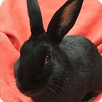 Adopt A Pet :: Binky - Chicago, IL