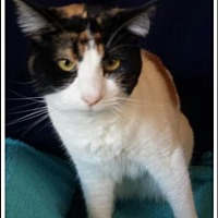 Domestic Shorthair Cat for adoption in St. Louis, Missouri - Mimi (Courtesy Posting)