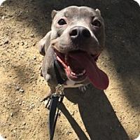 Staffordshire Bull Terrier Mix Dog for adoption in Santa Monica, California - Hennessy