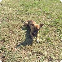 Adopt A Pet :: Chloe - Tavares, FL