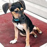 Adopt A Pet :: Nina - Sudbury, MA