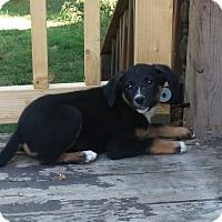 Adopt A Pet :: Karley - Kendall, NY