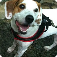 Beagle/Jack Russell Terrier Mix Dog for adoption in Columbia, Tennessee - Jack/CP