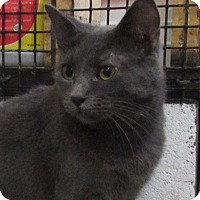 Domestic Shorthair Cat for adoption in Jackson, Missouri - DAISY