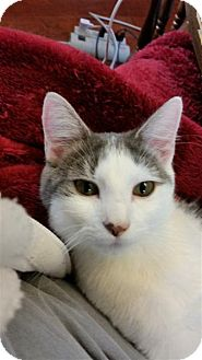 Domestic Shorthair Kitten for adoption in Fairfax Station, Virginia - Miss Serena