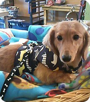Dachshund Dog for adoption in Portland, Oregon - NORMAN