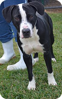 Labrador Retriever/English Pointer Mix Dog for adoption in Beaumont, Texas - Lennon