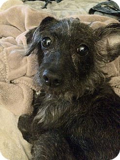 Dachshund/Schnauzer (Miniature) Mix Dog for adoption in Raritan, New Jersey - Lola ~ PENDING