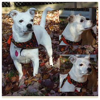Jack Russell Terrier/Italian Greyhound Mix Dog for adoption in Garden City, Michigan - Liberty