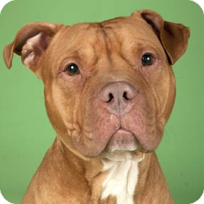 American Pit Bull Terrier/Dogue de Bordeaux Mix Dog for adoption in Chicago, Illinois - Rudy