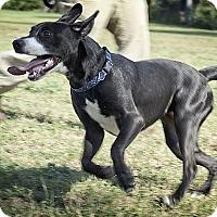 Adopt A Pet :: Marvelous Missy - Pflugerville, TX