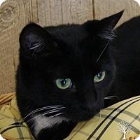 American Bobtail Cat for adoption in Monroe, Michigan - Zannie