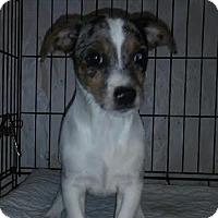 Adopt A Pet :: Dino - House Springs, MO