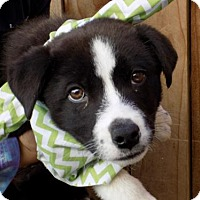Adopt A Pet :: Clint - Apple Valley, CA
