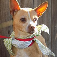 Adopt A Pet :: Manley- in a foster! - Apple Valley, CA
