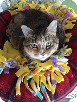 Domestic Shorthair Cat for adoption in Toledo, Ohio - Victoria