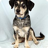 Adopt A Pet :: Bradley Bluetick Basset mix - St. Louis, MO