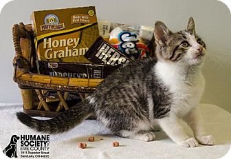 Domestic Shorthair Cat for adoption in Sandusky, Ohio - GRAHAM
