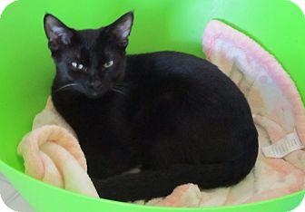 American Shorthair Kitten for adoption in Burgaw, North Carolina - Blake