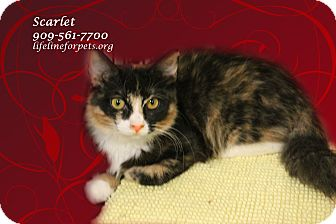Calico Kitten for adoption in Monrovia, California - A Young Female: SCARLET