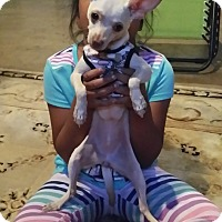 Chihuahua Puppy for adoption in Fullerton, California - Chloe