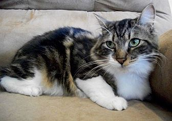 Domestic Shorthair Cat for adoption in Castro Valley, California - Oliver