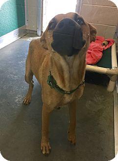 Labrador Retriever Mix Dog for adoption in Wilmington, Delaware - Hazel