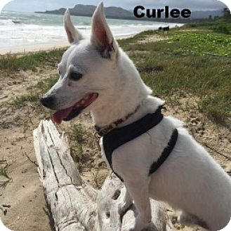 Chihuahua/Terrier (Unknown Type, Small) Mix Dog for adoption in Waipahu, Hawaii - Curlee