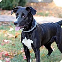 Adopt A Pet :: PUPPY KONA - Salem, NH